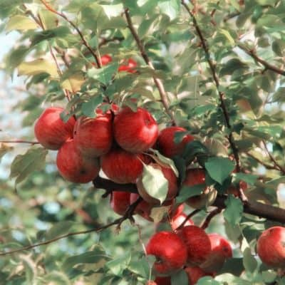 Apple Memories: Picking your own in Rhode Island